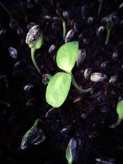 Growth of Sunflower Sprout