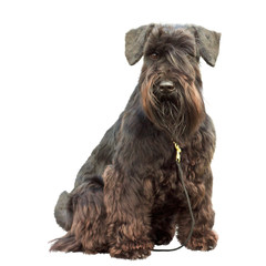 portrait of a thoroughbred dog Black Miniature Schnauzer