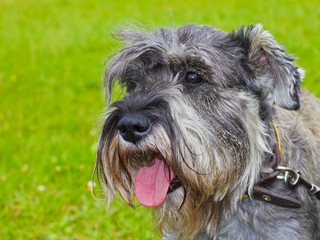dog miniature schnauzer pepper and salt color