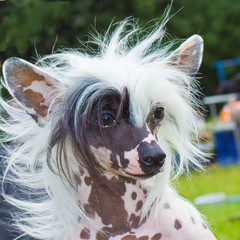 dog Chinese Crested breed smiles