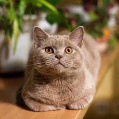 British shorthair lilac cat