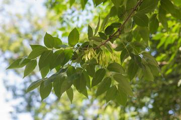 ash twig