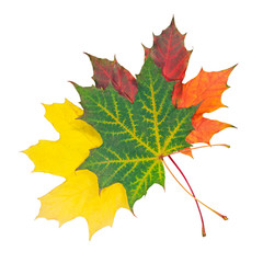 Three autumn maple leaf isolated on white
