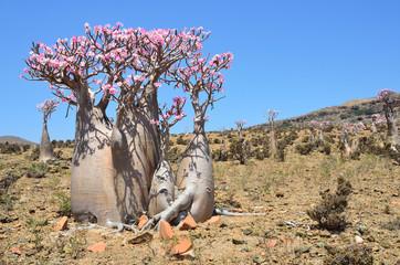 Йемен, остров Сокотра, плато Муми, бутылочные деревья