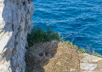 Three seagull eggs in a nest on rocks