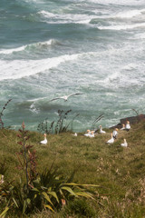 gannets nesting on grassy slope