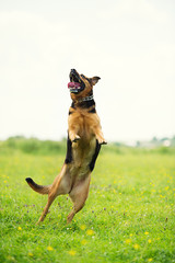 Funny jumping dog
