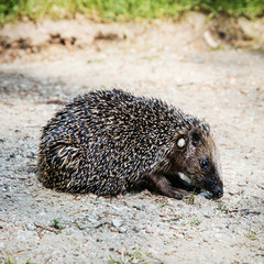 One European hedgehog (Erinaceus europaeus)