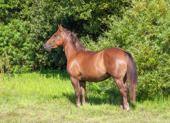 Cheval anglo arabe en pied