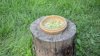 hand put wicker dish with chamomile flower herb on wood log