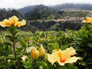 Madeira Hibiskus