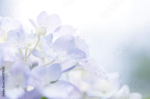 Papiers peints Hortensia 水滴とアジサイ