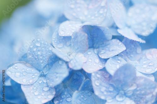 Tuinposter Hydrangea 水滴とアジサイ