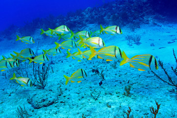 Shoal of porkfish grunts in the coral reef