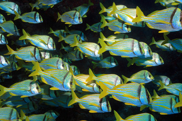 Shoal of porkfish grunts