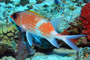 Squirrelfish in the caribbean sea