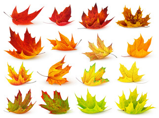 Colorful maple leaves isolated on white