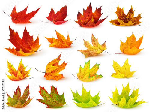Deurstickers Bomen Colorful maple leaves isolated on white