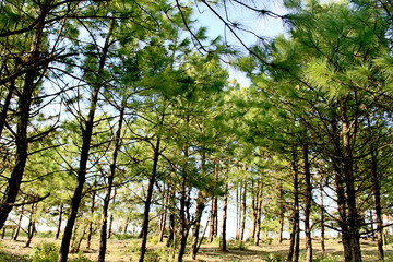 Nature of  pine forest in Phu Rua mountain , Phu Rua, Loei, , Th