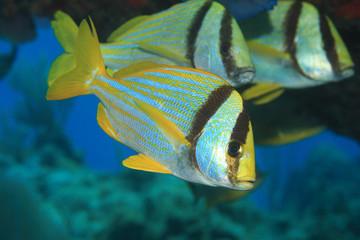 Porkfish grunt fish