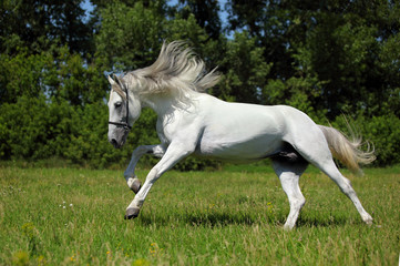 Wild white horse with long mane