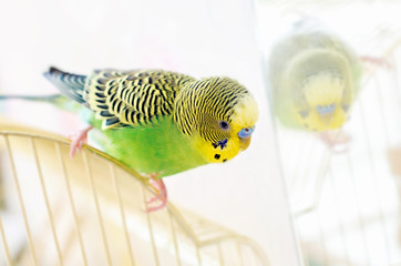 Budgerigar (Melopsittacus undulatus) is a small parrot occurring