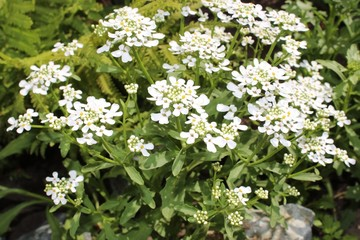 Iberis flower