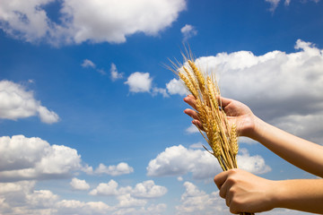 Farmer holding his successful yield of wheat