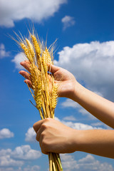 Hands with ear of wheat