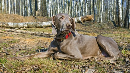 Weimar pointer