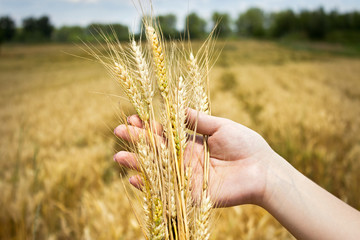 golden wheat in hand
