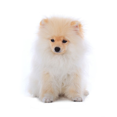 White pomeranian puppy dog isolated on white background