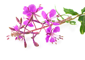 willow-herb close up, isolated on white
