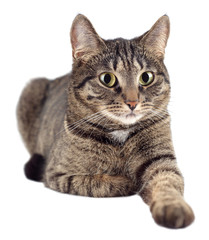 Portrait of tabby cat isolated on white background.