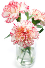 Carnation flower in a vase, isolated, shallow DOF