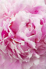 Pink peony flower, close-up
