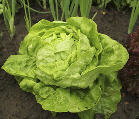 Lettuce (all the year round) growing in soil with water drops