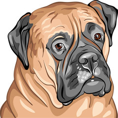 vector closeup portrait of the dog breed Bullmastiff