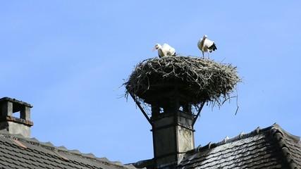 Junge Störche klappern im Nest