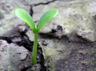 Pumpkin seedling on soil