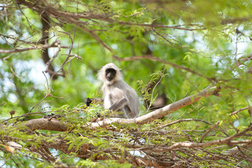 indian common langur sitting on a tree