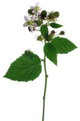 blackberry flower and leaf