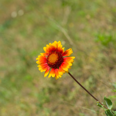 Feral Indian blanket flower in wild field