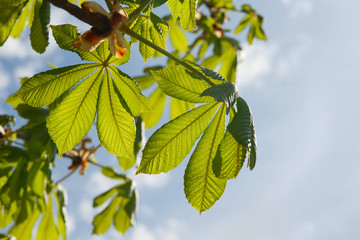 Chestnut leaves.