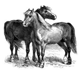 Horses - Chevaux : race Boulonnaise
