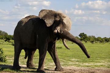 Elefant schüttelt sich