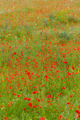 the picturesque landscape with red poppies among the meadow