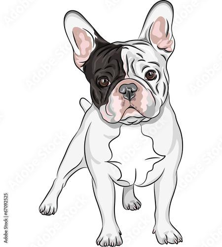 Fototapeta vector sketch domestic dog French Bulldog breed