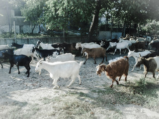 Goats in village street