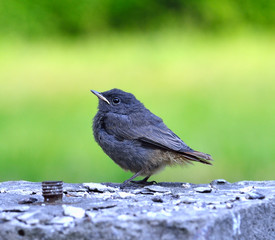 Little grey black bird on the green background